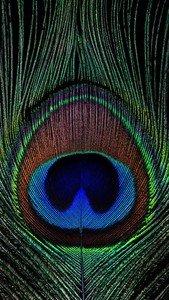Krishna Peacock Feather