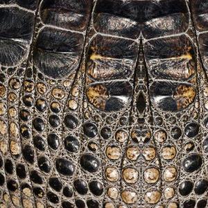 American Alligator Skin Print
